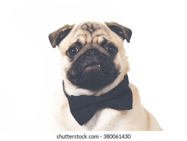 A business pug. An image of a puppy pug wearing a black bow. Image taken in a studio. Image has a vintage effect applied.