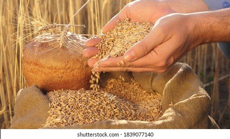 Businessman checks the quality of wheat. agriculture concept. close-up. Farmer's hands pour wheat grains in a bag with ears. Harvesting cereals. An agronomist looks at the quality of grain.