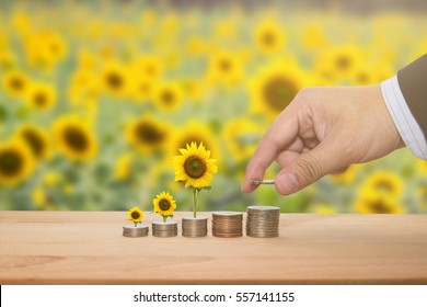 A businessman saving money concept putting money coin stack and yellow sunflower growing business by hand and blur sunflowers background