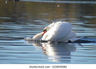 Busking Male Mute Swan on Duddingston Loch