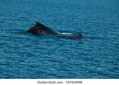 Busselton Australia, back of humpback whale and calf