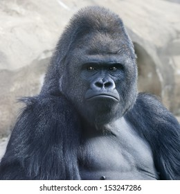 Bust portrait of a gorilla male, severe silverback, on rock background. Menacing expression of the great ape, the most dangerous and biggest monkey of the world. The chief of a gorilla family.