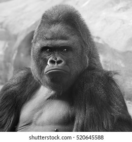Bust portrait of gorilla male, severe silverback, on rock background. Menacing expression of the great ape, the most dangerous and biggest monkey of the world. Black and white image.