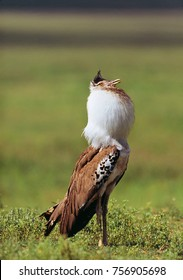 bustard kori in savannah in tanzania