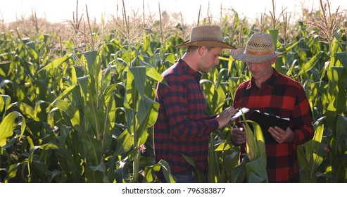Busy Agriculturist Team of Farmer Men Work and Talk about Bio Corn Quality and Production Volume in Organic Sweetcorn Plantation Filed, Agriculture Concept