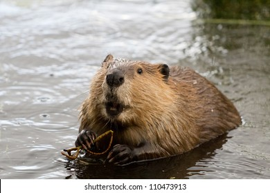 Busy as a Beaver
