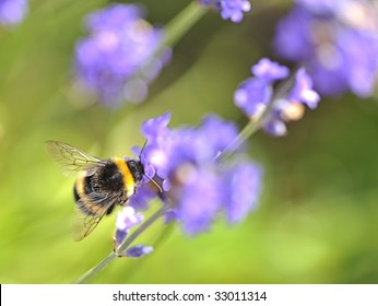 Busy Bee collecting nectar from lavender flowers.