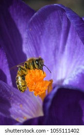 Busy Bee Getting Yellow Pollen from a Purple Crocus