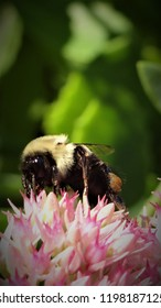 Busy bee slurping up the sweetness of nectar.