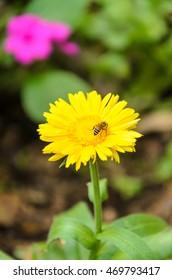 Busy honey bee collecting pollen. Selective focus