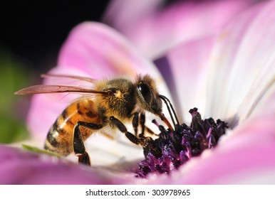 Busy honeybee collecting nectar in beautiful pink flower