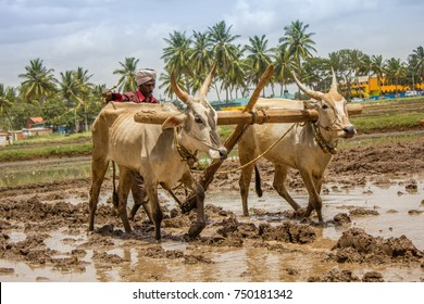Busy Indian farmer ploughing the paddy field during the month of October in Mysore Karnataka India 2013