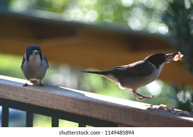A butcher bird is hopping along a wooden fence, some food in his beak. Another butcher bird is further along the fence.