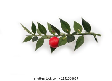 Butcher's Broom branch with ripe red berries isolated on white background. Ruscus aculeatus shrub