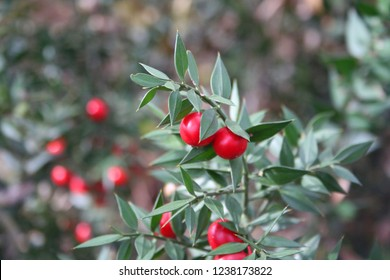 Butcher's Broom bush with ripe red berries. Ruscus aculeatus shrub in the winter forest