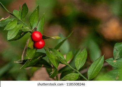 Butcher's Broom red berries, Ruscus aculeatus, and green leaves
