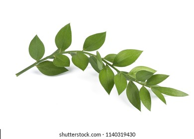 butcher's-broom branch isolated on white background