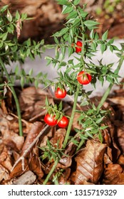 Butcher's-broom (Ruscus aculeatus) in forest, Abkhazia