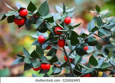 Butcher's-broom  or Ruscus aculeatus plants background