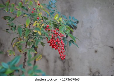 Butcher's-broom or Ruscus aculeatus plants background,Red seeds of pyracantha coccinea