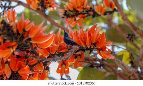 Similar Images, Stock Photos & Vectors of Butea monosperma ... Palash Flower Wallpaper
