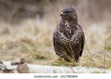 kán? lesní - Buteo buteo - Common Buzzard