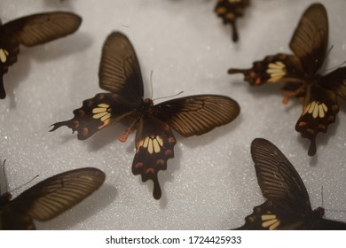 Buterfly with many clolors wings, etc. black l, brown, white and orange.
