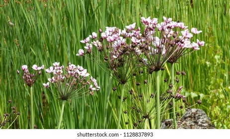 Butomus umbellatus is the Old World Palearctic and Asian plant species in the family Butomaceae. Common names include flowering rush or grass rush.