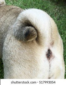 Butt and tail of dog. Haunch of Pug.