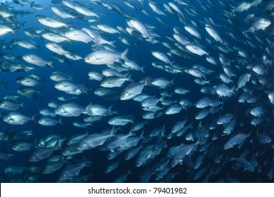 butter fish bait ball under in sea of japan, september, Russia