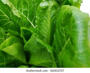 Butter head Lettuce and Cos Lettuce background and texture
