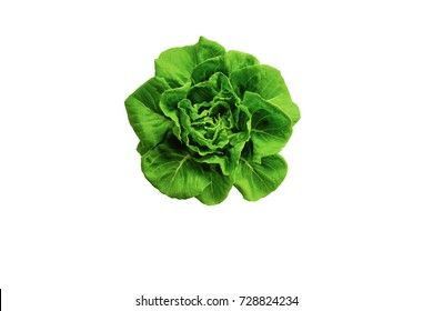 Butter head Lettuce plant for salad, hydroponic vegetable leaves, isolated on white background