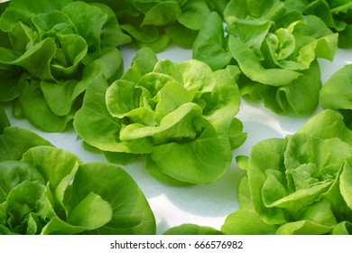 butter head Lettuce salad plant, organic hydroponic vegetable farm