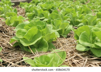 butter head. organic Vegetable growing farm for background