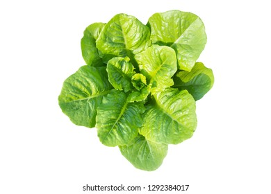 butter head vegetable green butter lettuce salad isolated on white background