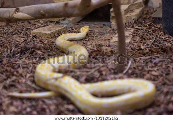 Butter Motley Corn Snake Red Rat Stock Photo (Edit Now