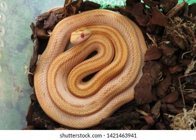 Butter Stripe Corn snake (Pantherophis guttatus) in plastic terrarium
