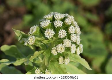 Butterbur shoot is a bittersweet wild vegetable grown in spring.