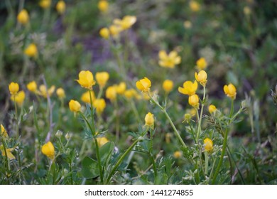 buttercup flowers in a pasture