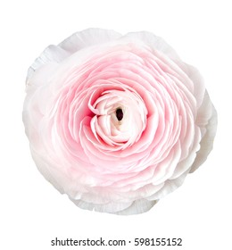 buttercup flowers (Ranunculus ) isolated on white background
