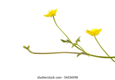 Buttercup isolated on white background