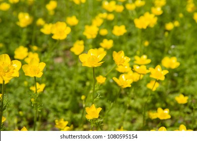 Buttercup (Ranunculaceae) blooming yellow flowers