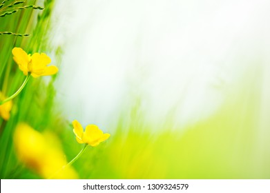 Buttercup (Ranunculus) flowers in the meadow. Selective focus and shallow depth of field.
