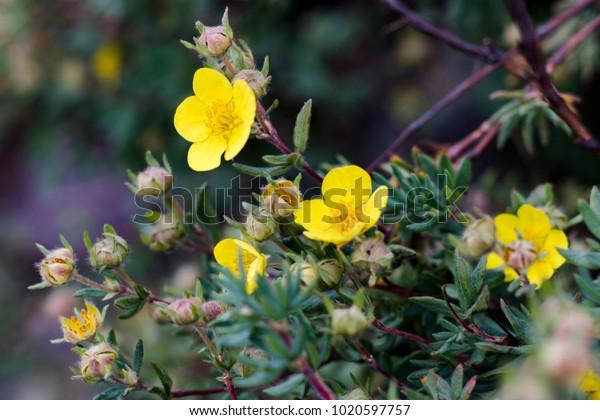 Buttercups in Bloom
