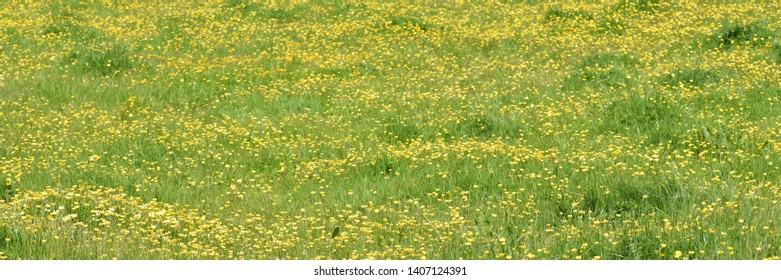 Buttercups in a Cornish water meadow
