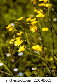 buttercups growing wild in meadow - differential focus