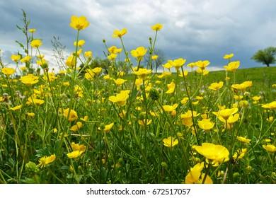 Buttercups in the Meadow