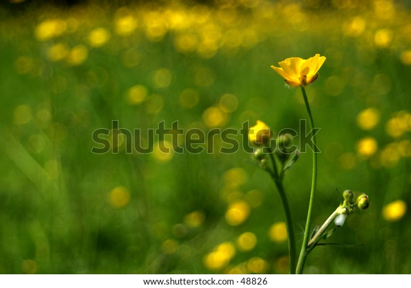 Buttercups shot against a backdrop of a field of buttercups