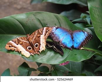 Butterflies, blue morpho