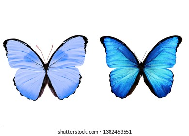 butterflies with blue wings. tropical insects. Isolated on white.